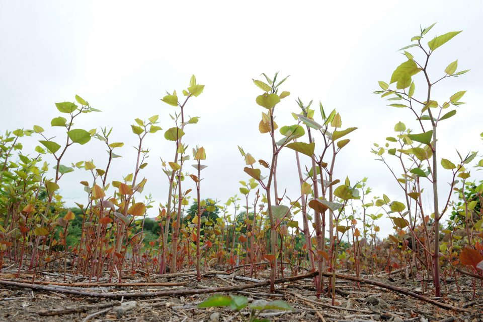 It's time to separate Japanese knotweed myth from fact